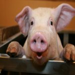 Rüyada domuz görmek