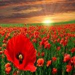 Rüyada gelincik çiçeği görmek