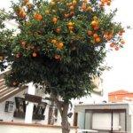 Rüyada portakal ağacı görmek